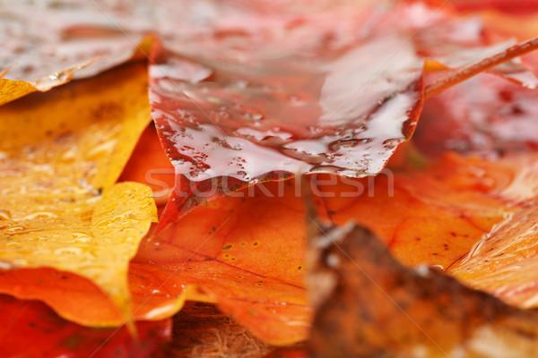 ぬれた 葉 メイプル 秋 カラフル テクスチャ ストックフォト © taden
