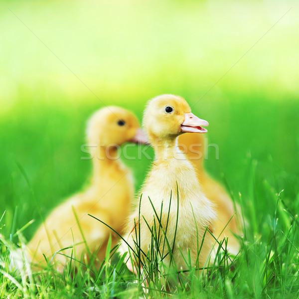 Drie pluizig kuikens groen gras gras kind Stockfoto © taden