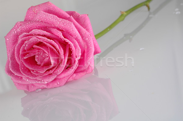 pink rose with water drops Stock photo © taden