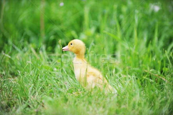 Kiskacsa zöld fű öreg felfedez fű gyermek Stock fotó © taden