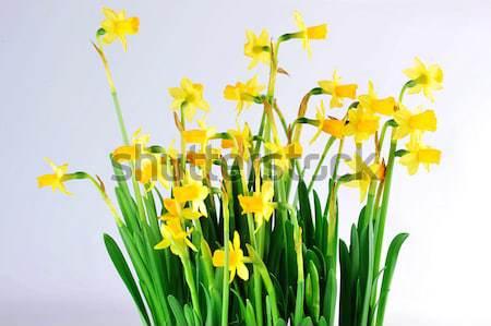 Stockfoto: Geel · narcissen · bladeren · bos · bloemen · voorjaar