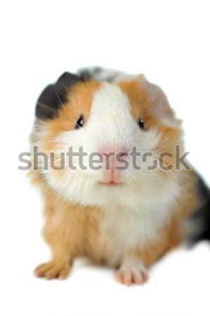 Stok fotoğraf: Kobay · kahverengi · beyaz · yalıtılmış · doğa · hayvanlar