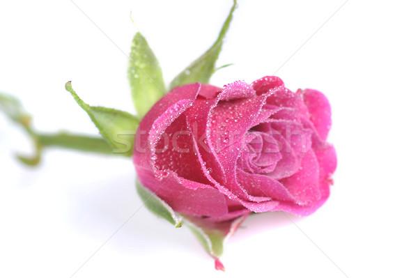 pink rose  close up Stock photo © taden