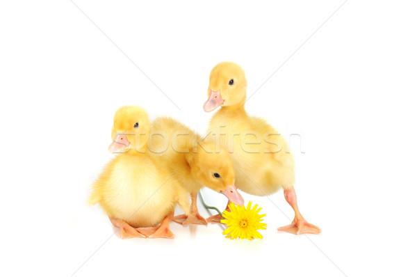 Citromsárga bolyhos három aranyos pitypang izolált Stock fotó © taden