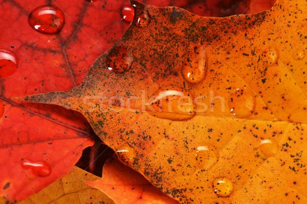 Umido foglie acero autunno colorato texture Foto d'archivio © taden
