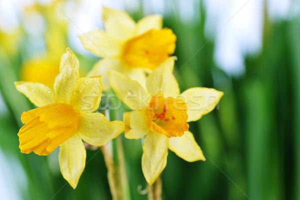 Geel narcissen bladeren bos bloemen voorjaar Stockfoto © taden