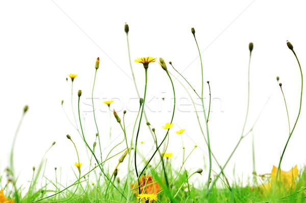 Gele bloemen park geïsoleerd witte bloem voorjaar Stockfoto © taden