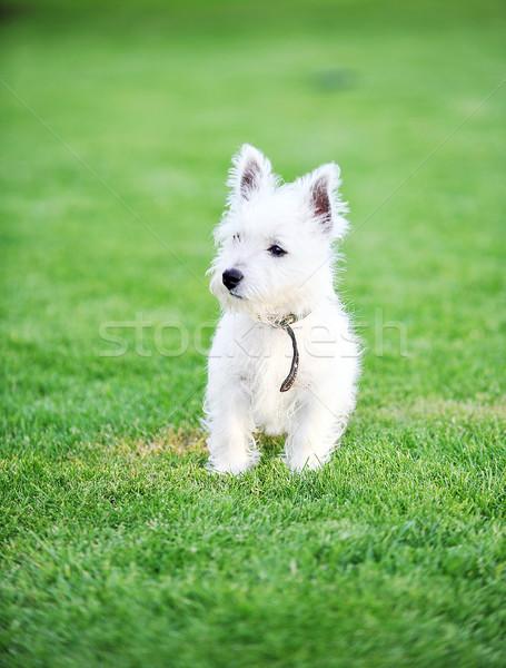 白 犬 小 緑 芝生 草 ストックフォト © taden