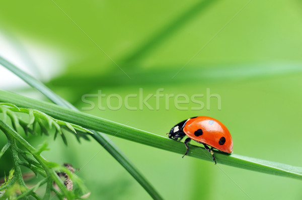Mariquita hierba rojo mariquita siete negro Foto stock © taden