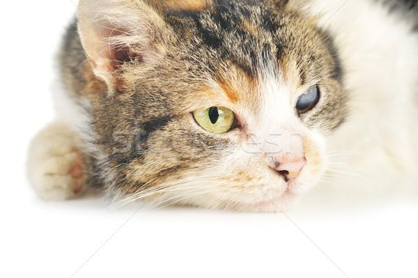 Macska aranyos izolált haj portré állatok Stock fotó © taden