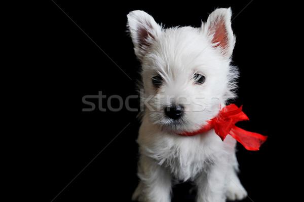 Biały szczeniak zabawny czarny odizolowany Zdjęcia stock © taden