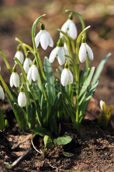 Kwiaty świeże dorosły charakter liści życia Zdjęcia stock © taden