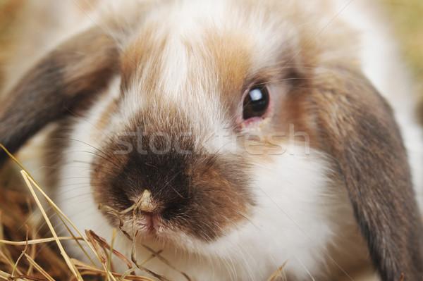 Aranyos kicsi nyúl természet állatok állat Stock fotó © taden