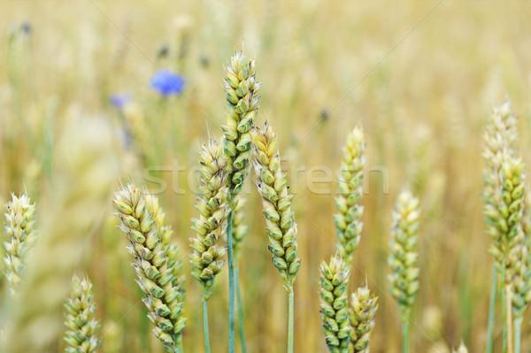 Pole pszenicy lata dzień kwiaty żywności słońce Zdjęcia stock © taden