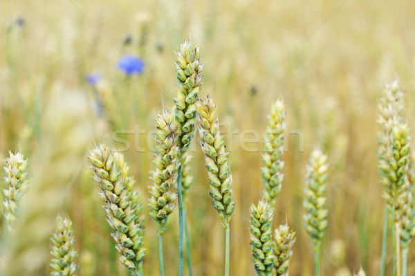 cornflowers in  wheat field Stock photo © taden