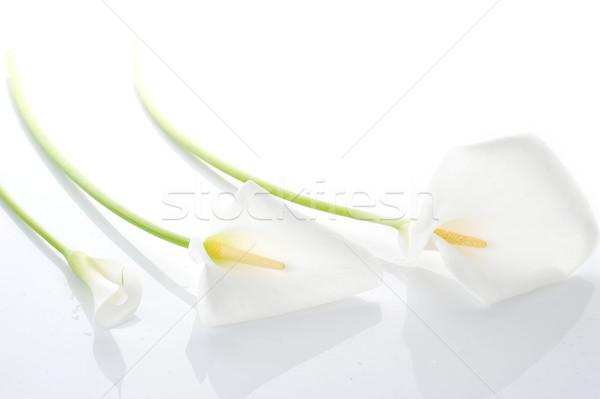 Three white  calla lilies Stock photo © taden