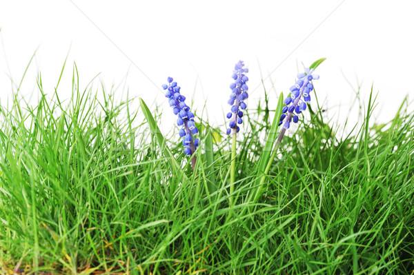ヒヤシンス 花 成長 緑の草 草 自然 ストックフォト © taden