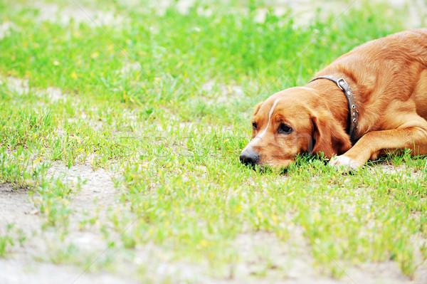 ストックフォト: 茶色の犬 · ビッグ · 草 · 自然 · 夏 · フィールド