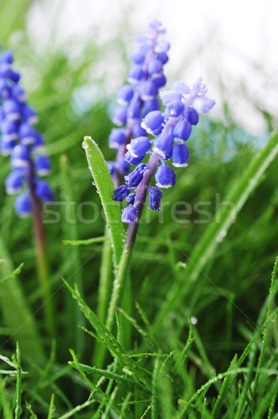 Jacinto flor crescente grama verde grama natureza Foto stock © taden