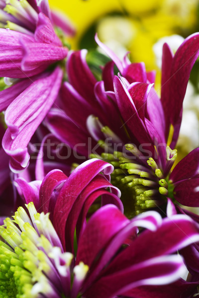 purple chrysanthemum Stock photo © taden