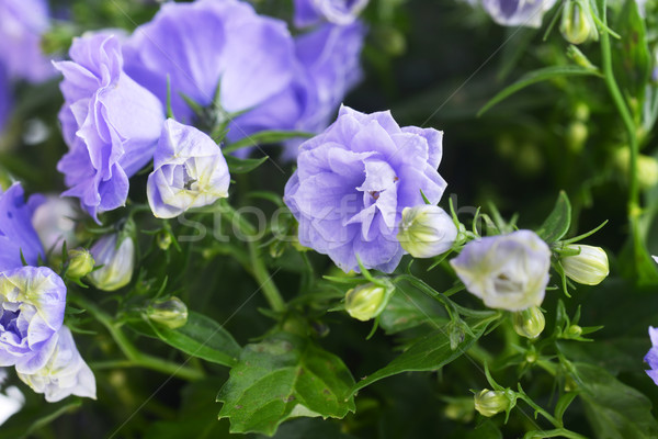 campanula bellflowers Stock photo © taden
