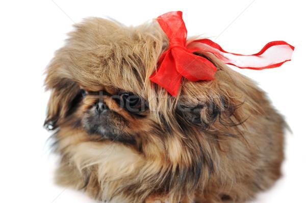 子犬 面白い ブラウン 赤 動物 ストックフォト © taden
