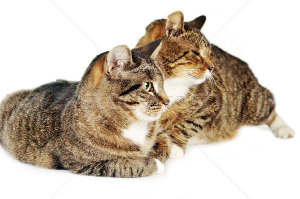 два серый котят полосатый изолированный кошки Сток-фото © taden