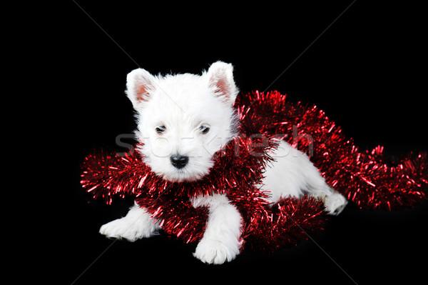 白 子犬 花輪 面白い 赤 動物 ストックフォト © taden