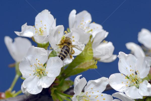 яблоко Blossom Blue Sky весны фон деревья Сток-фото © taden