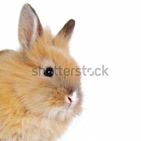 Piccolo coniglio isolato bianco Pasqua arte Foto d'archivio © taden