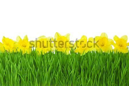 Primavera fronteira amarelo narcisos grama verde isolado Foto stock © Taiga
