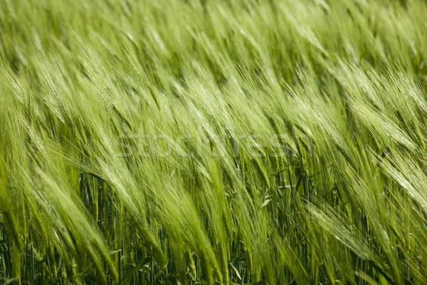 green wheat and windy weathe Stock photo © Taiga