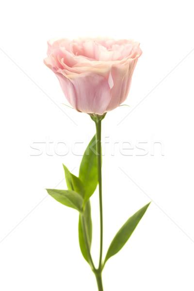 Mooie vers geïsoleerd witte zuiver Stockfoto © Taiga