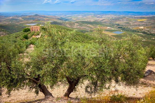 Olijfolie bomen landschap Spanje Europa vruchten Stockfoto © Taiga