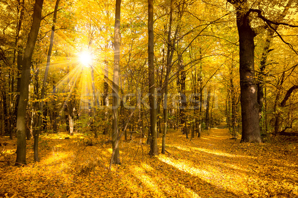 Gold Autumn landscape with sunlight and sunbeams Stock photo © Taiga