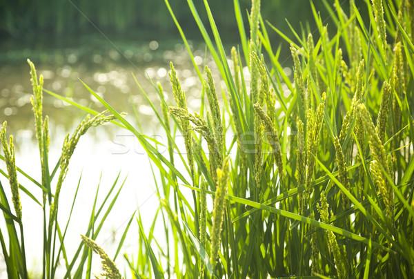Rijst veld zonneschijn zachte selectieve aandacht voorgrond Stockfoto © Taiga