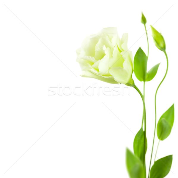 Branco flor folhas isolado cópia espaço casamento Foto stock © Taiga