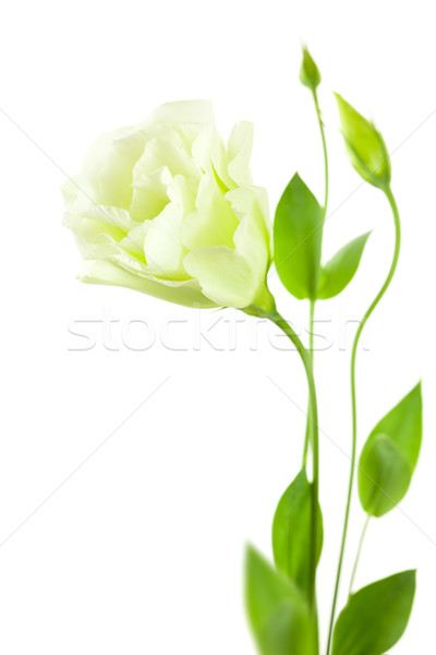Delicate white Eustoma (Lisiantus) Flower with leaves and buds  Stock photo © Taiga