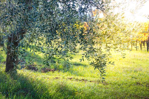 Beautiful sunrise landscape of Olive trees plantation Stock photo © Taiga