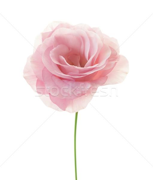 Minimalistic pink eustoma isolated on white background Stock photo © Taiga