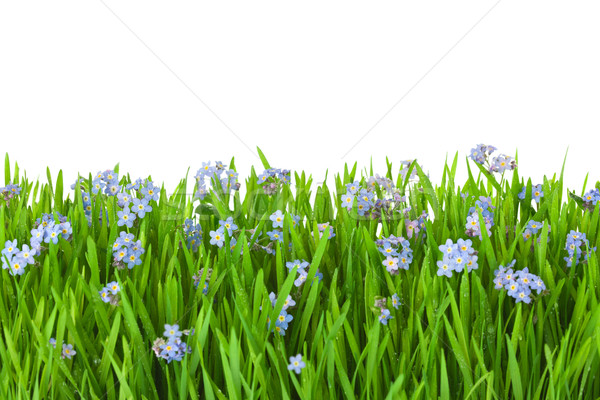 blue flowers  into green grass with water drops / isolated on wh Stock photo © Taiga