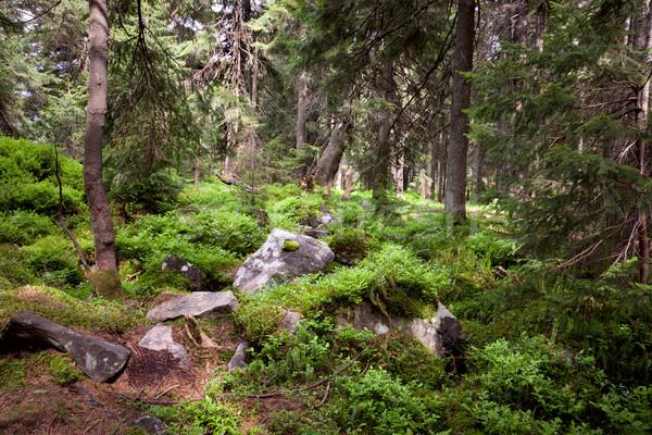 Velho floresta montanha pedras musgo pinho Foto stock © Taiga