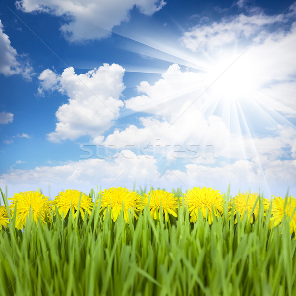 Yellow Dandelions, Green Grass and Blue Sky with Sun Stock photo © Taiga