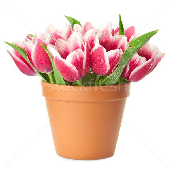 Flower Pot with pink Tulips / water drops / isolated on white ba Stock photo © Taiga