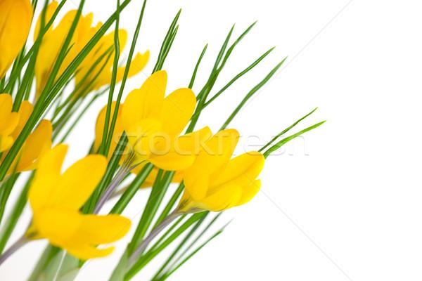 Citromsárga tavaszi virágok izolált fehér kikerics húsvét Stock fotó © Taiga