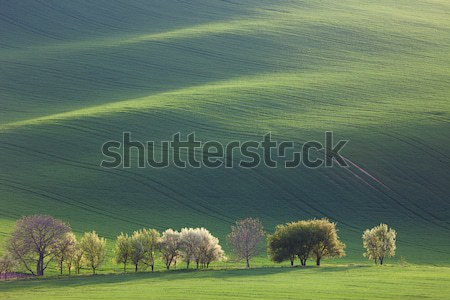 Amazing waves of hills and green and blossom trees - fresh green Stock photo © Taiga