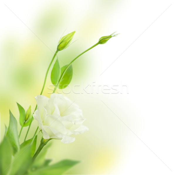 Delicate white Flowers with Buds /  isolated  / Eustoma ( Lisian Stock photo © Taiga