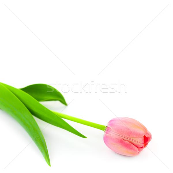 Een zacht vers tulp geïsoleerd witte Stockfoto © Taiga