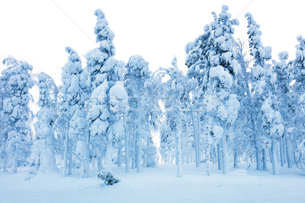 Snowy Forest after blizzard, frozen trees and a lot of snow Stock photo © Taiga