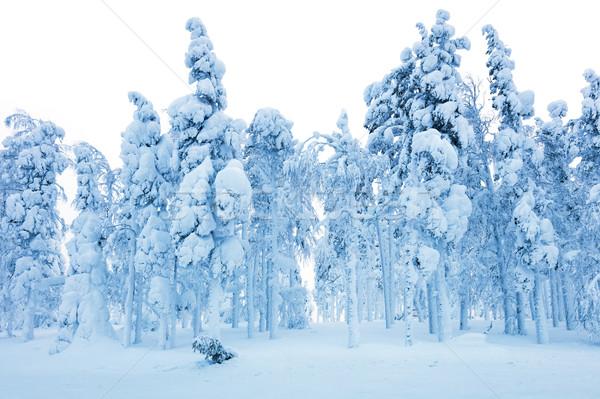 Floresta nevasca congelada árvores neve inverno Foto stock © Taiga